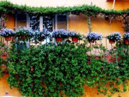 Растения, которые вьются на балконе