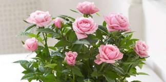 Комнатаная роза, уход