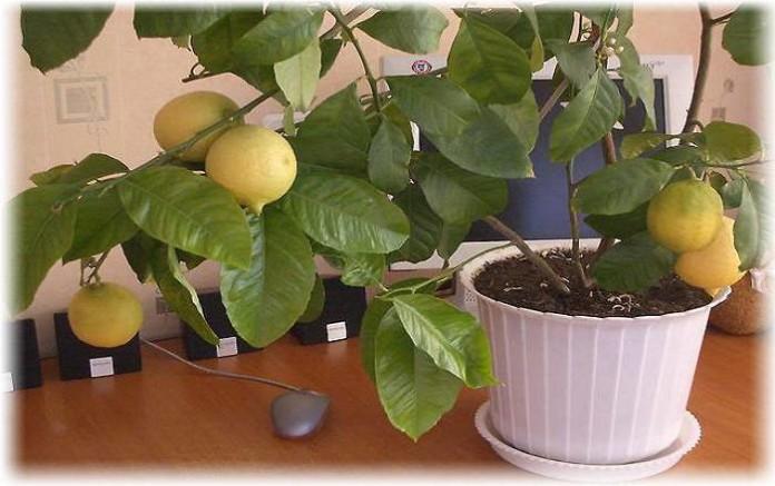 Лимон комнатный, уход