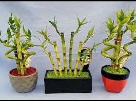 Бамбук счастья в домашних условиях