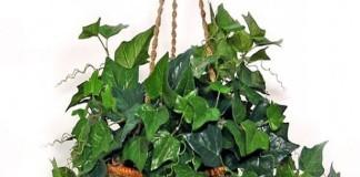 Вьющиеся растения для кухни