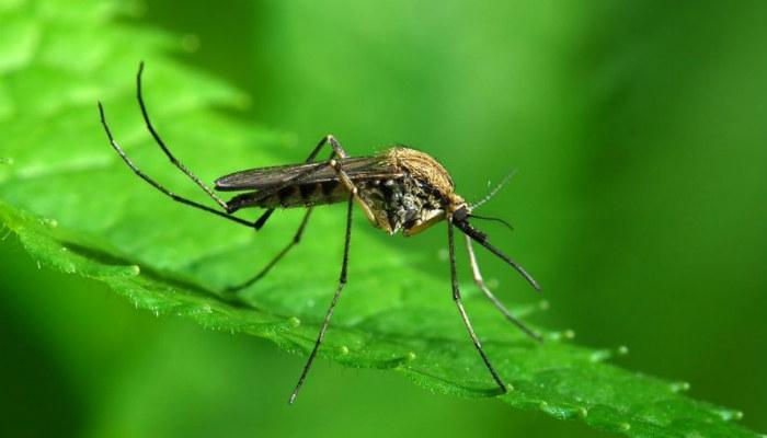 11 трав, которые прогонят комаров