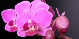 Орхидея. Уход и размножение