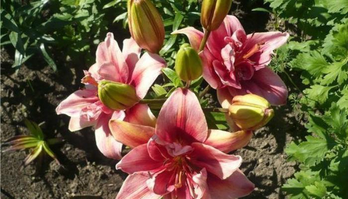 1Поля тюльпанов в Голландии)))