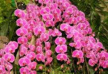 Как заставить цвести орхидею