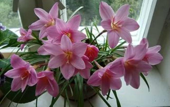 Зефирантес. Уход во время покоя и цветения