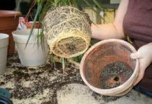 Как ПРАВИЛЬНО переваливать и пересаживать растения