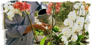 Полив орхидей во время цветения