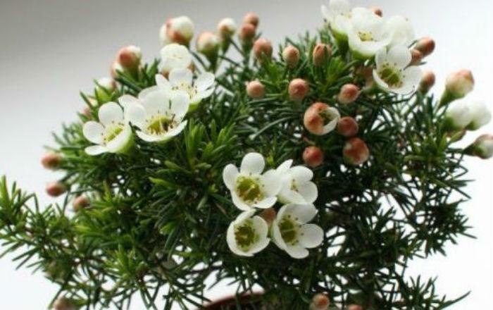 "Хамелациум. ""Елка"" с яблоневыми цветками"
