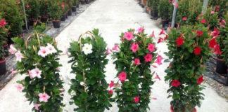 Дипладения - мексиканское дерево любви