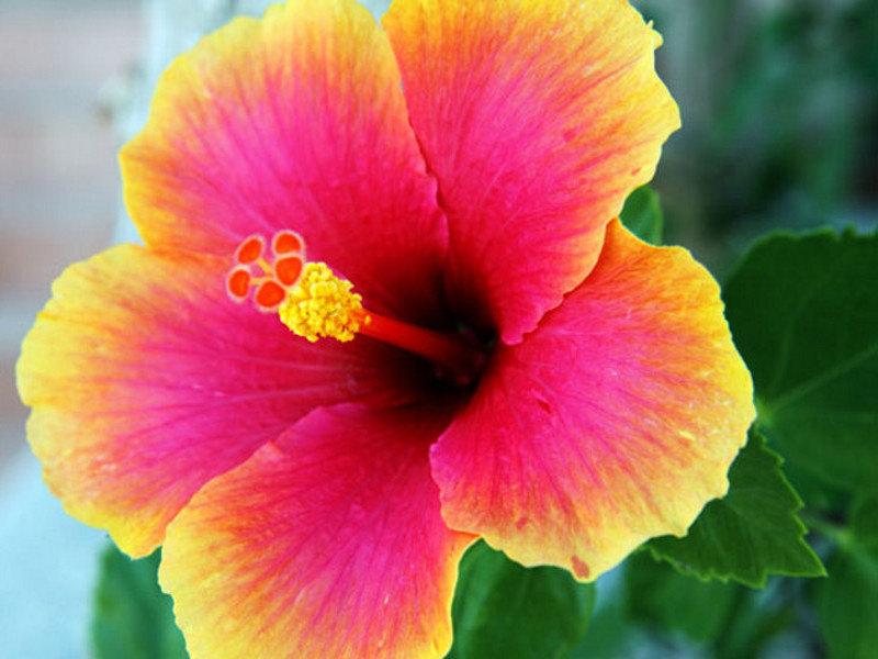 Гибискус: сочетание пользы и красоты