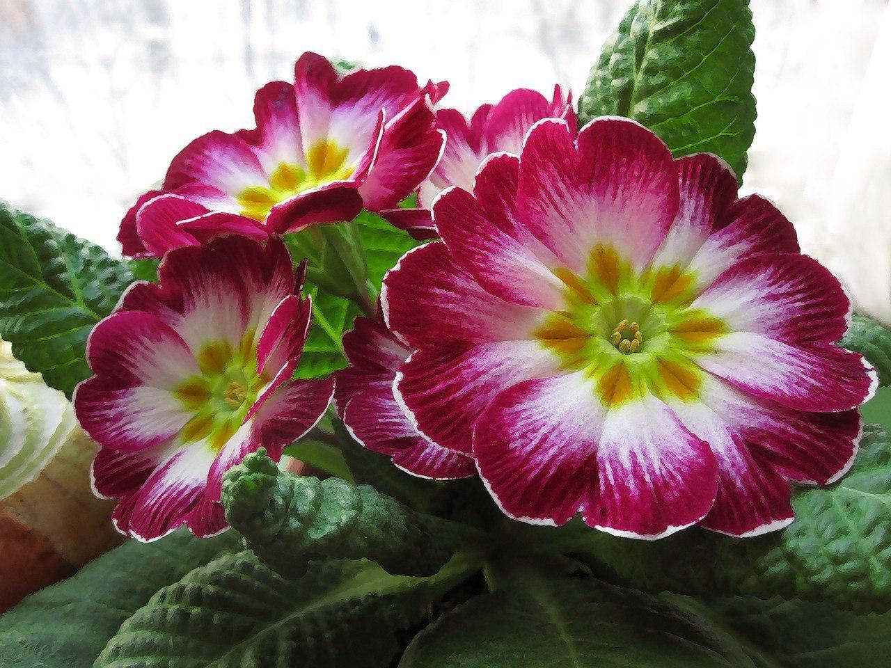 Комнатные цветы примула уход комнатная