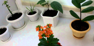 Правильное укоренение черенков комнатных растений