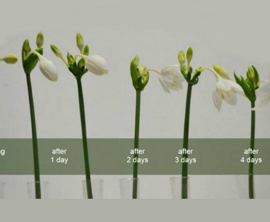 Что делать, если не цветет эухарис