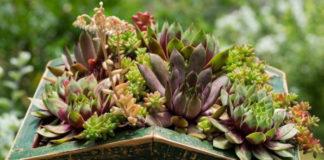 Выращиваем комнатный цветник из суккулентов