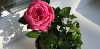 Спасаем замерзшую комнатную розу
