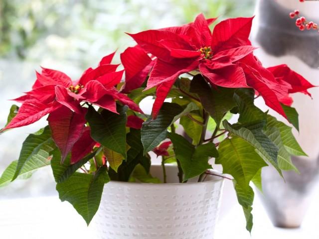 7-luchshix-komnatnyx-rastenij-kotorye-cvetut-zimoj1