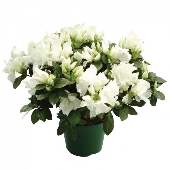 7-luchshix-komnatnyx-rastenij-kotorye-cvetut-zimoj10