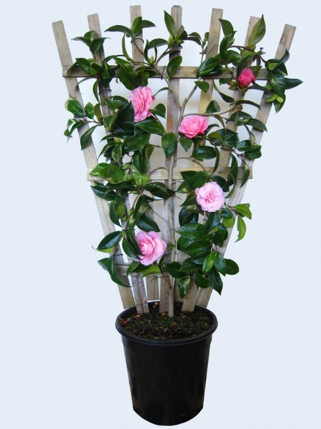 7-luchshix-komnatnyx-rastenij-kotorye-cvetut-zimoj13