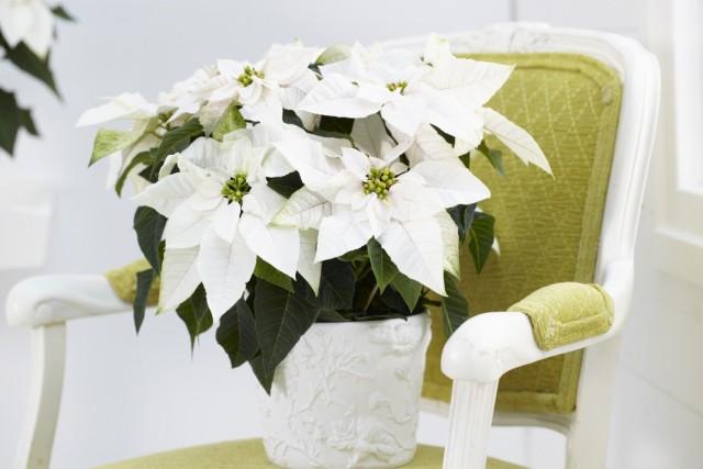 7-luchshix-komnatnyx-rastenij-kotorye-cvetut-zimoj8