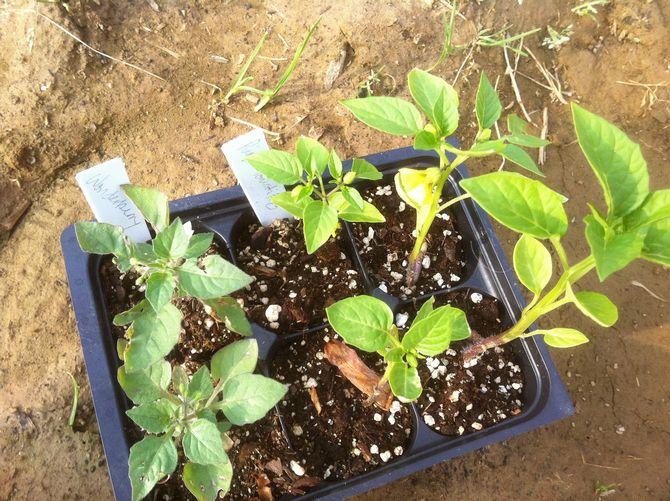 Как вырастить санберри на своем участке