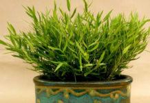 Погонатерум – комнатный бамбук