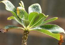 По какой причине у комнатных растений сохнут кончики?