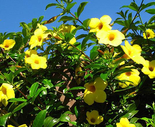 Алламанда: как выращивать в домашних условиях