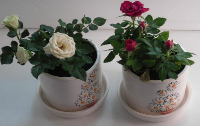 Миниатюрная комнатная роза