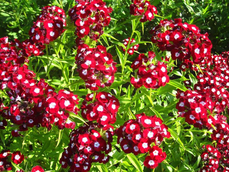 Самые неприхотливые цветы для «ленивого» сада