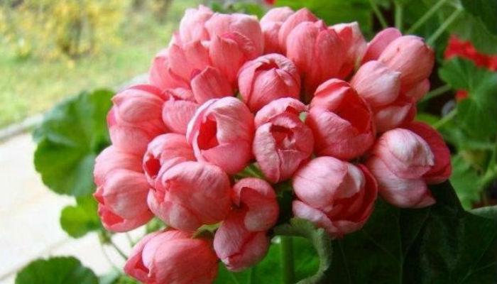 Знакомьтесь - тюльпановидная пеларгония