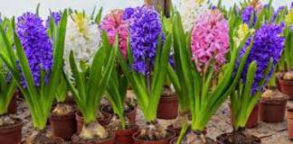 Виды гиацинта и советы по уходу за цветущим растением (видео)