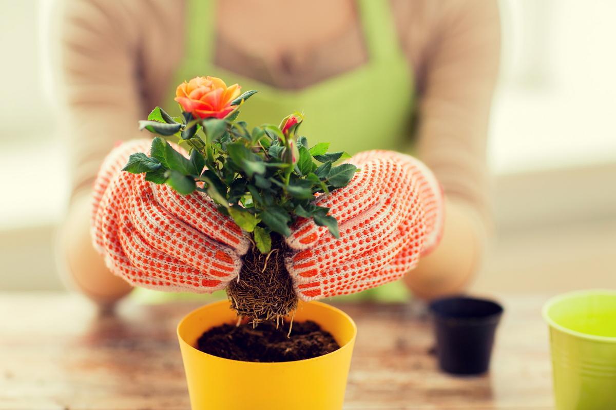 Комнатные розы: как сохранить капризный цветок в горшке?2