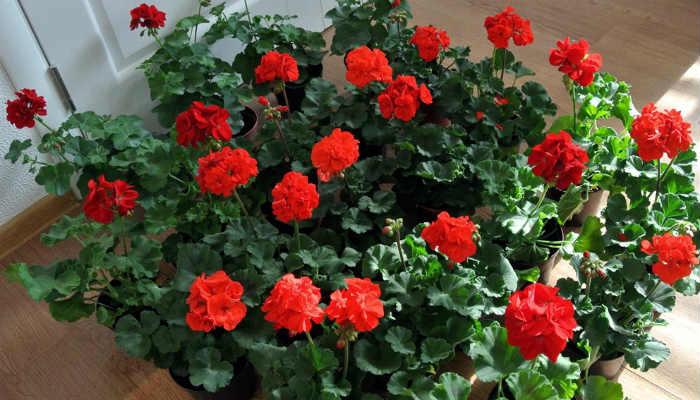 Чтобы герань радовала пышным цветением