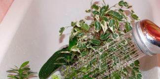 Горячий душ для комнатных растений