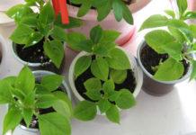 Как размножать комнатные растения из семян1