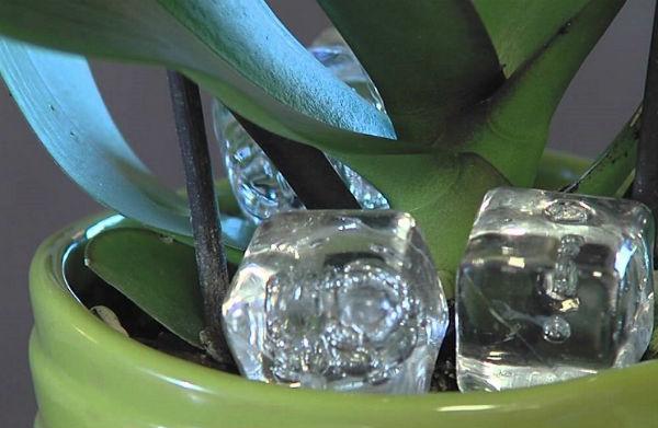 Как заставить цвести орхидею в домашних условиях2