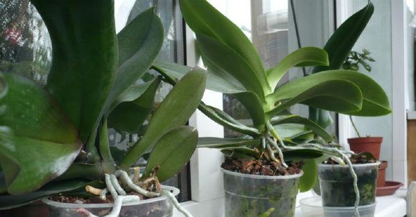 Как заставить цвести орхидею в домашних условиях3