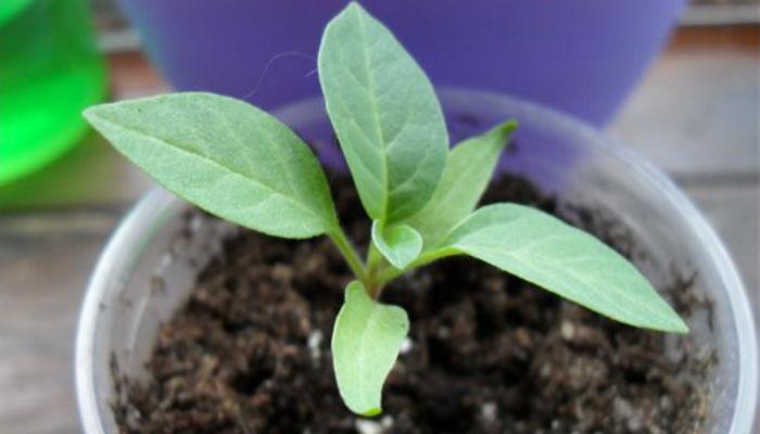 Как размножать комнатные растения из семян