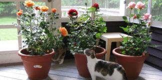 Комнатные розы: как сохранить капризный цветок в горшке?1