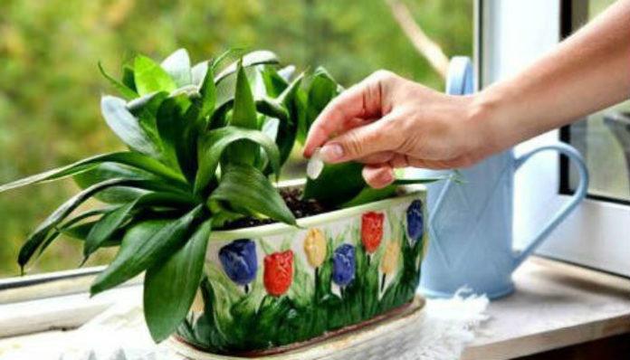 Подкормка домашних цветов домашнимиами