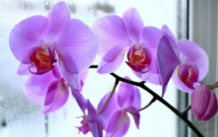 Магическое значение орхидеи