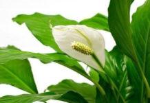 """Комнатный цветок """"женское счастье"""""""