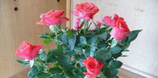 Почему миниатюрная роза часто погибает после покупки? Как этого избежать?