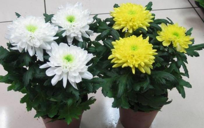 Хризантемы фото и уход в домашних условиях