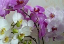 Магическое значение орхидеи в вашем доме.