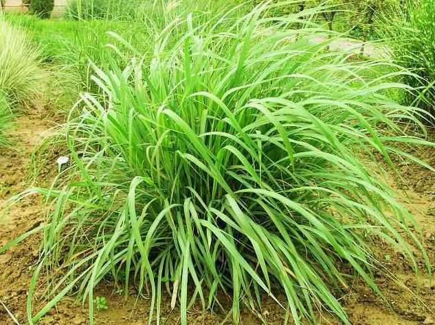 """8 растений, которые отгоняют комаров на """"ура"""""""