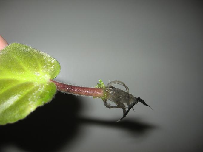 Как вырастить фиалку из одного листочка