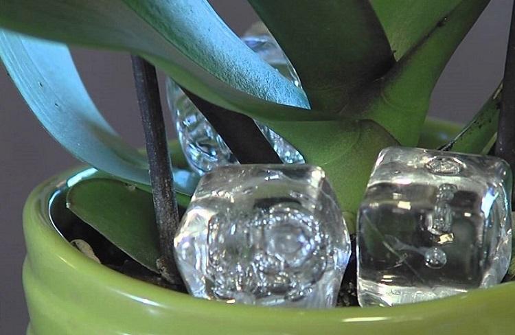 Положите кубик льда в горшок с орхидеей, и увидите как это поможет ей