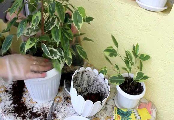 5 ошибок, совершаемых при пересадке комнатных растений